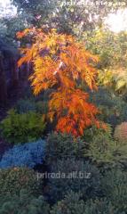 Клён японский дланелистный Acer palmatum Viridis