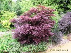 Full-moon maple cheirophyllous Acer palmatum