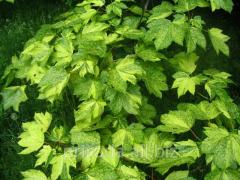 Клён псевдоплатановидний Acer pseudoplatanus