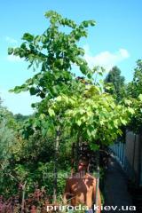 Big-leaf linden Tilia platyphyllos of 350 - 400 cm