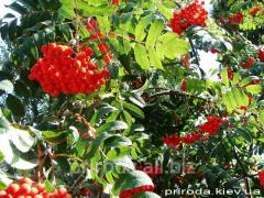 European mountain ash Sorbus aucuparia of 300 -