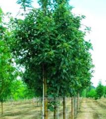 Mountain ash Swedish Sorbus intermedia of 200 -
