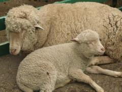 Овцы племенные Приазовский цигай, овцы цигайской