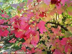 European cranberry-bush Viburnum opulus of 200 -