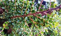 Rock cotoneaster Cotoneaster horizontalis of 30 -