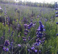 Lavender of Lavandula of 25 - 35 cm
