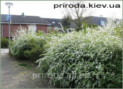 Spiraea gray Spiraea cinerea Grefsheim of 100 -