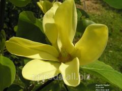Daphne Magnolia Daphne's magnolia of 170 -