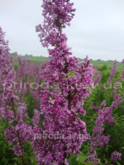 Chinese lilac saplings of 140 - 160 cm