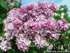 Catherine Havemeyer's lilac saplings of 140 -