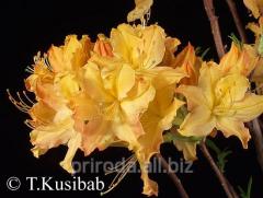 Azalea garden large-flowered Rododendron Golden