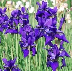 Ирис сибирский (Iris sibirica L) Dark violet.