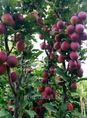 Cherry plum of kolonovidny 200 - 220 cm
