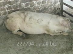 Свинина тушками или полутушками