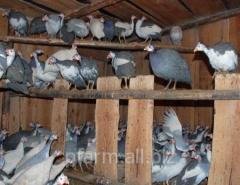 Domashn_ guinea fowls