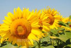 Семена подсолнечника СУР(супер ультра ранний) 45