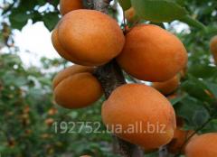 Sapling Apricot Gold Rich