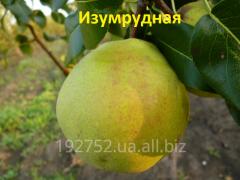 Grusha Izumrudnaya's sapling