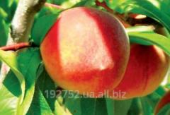 Peach sapling Redkheyven
