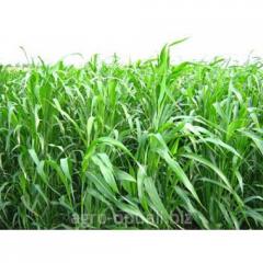 Суданская трава семена