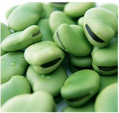 Bean forage crops