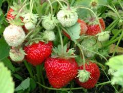 Strawberry sapling