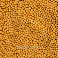 Mustard of Zholtaya