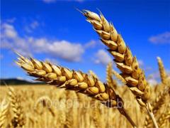 Winter wheat grade of Rozkoshnaya