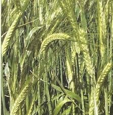 Ardent wheat grade Nashchadok