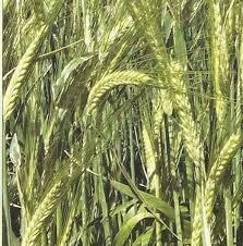 Ardent wheat grade Simkoda Mironovskaya