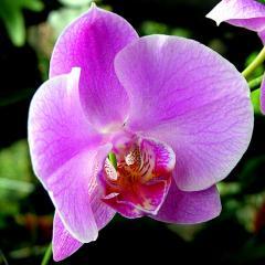 Орхидея, живые цветы Киев