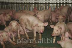 Pigs live weigh