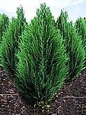 Саженцы хвойных деревьев: можжевельники, сосна,
