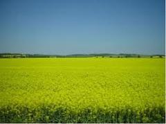 Зерновые, Семена люцерны.