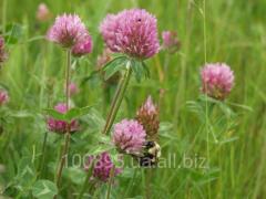 Clover seeds