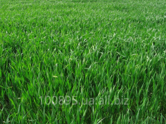 Ryegrass seeds