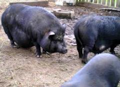 Мясо свинины корейской породы полутуши или живой