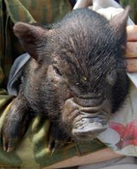Свиньи, поросята корейской породы