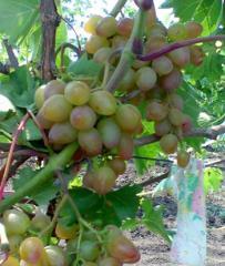 Черенки винограда очень ранних сортов. Багровый