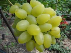 Shanks of grapes of very early grades. Bazhena