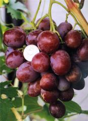 Shanks of grapes of average grades of maturing.