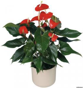 Антуриум растение