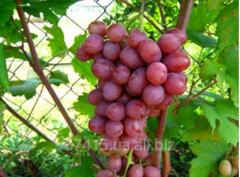 Саженец винограда Гурман Ранний