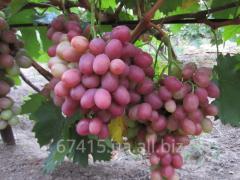 Саженец винограда Рубиновый Юбилей