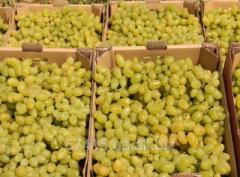 Саженец винограда Бажена