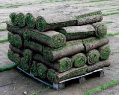 Газон рулонный, травы газонные