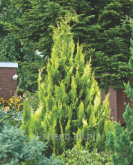 Lawson cypress Alyumigold (chamaecyparis