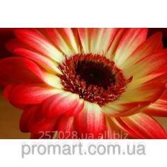 Фотокартина Червоно-жовта квітка код  КН-097