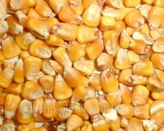 Corn (no class)