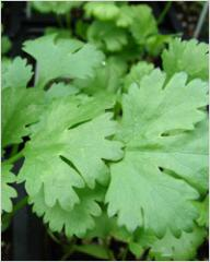 Cilantro, sale, wholesale, Zaporizhia, Ukraine